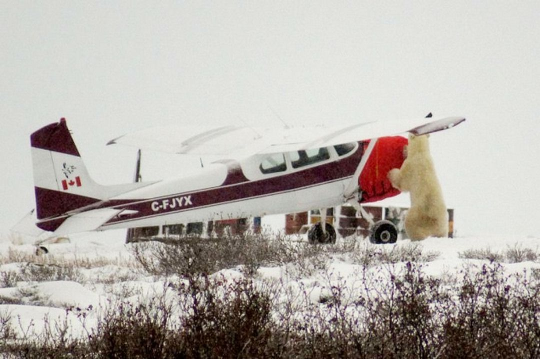 Polar bear completing pre-flight check: Cessna 180 Insulated Engine Cover.